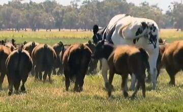 Knickers the cow: Too big for slaughterhouse