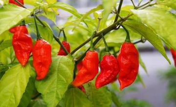 The Hottest Spice In The World Bhut Jolokia