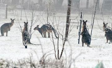 Ghostly 'Snow Kangaroos' After Unusual Storm in Australia