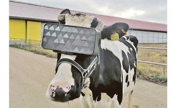 Russian cows get VR headsets 'to reduce anxiety'