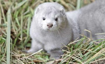 Dead minks culled in Denmark are rising from their shallow graves after covid mutation concerns
