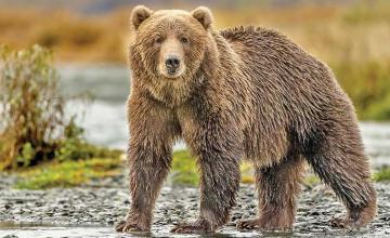 Man terrorised by grizzly bear for days before helicopter rescue