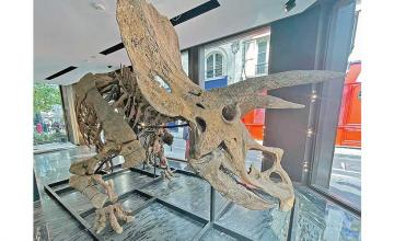 World's biggest Triceratops skeleton up for auction, expected to sell for more than $1.4 million